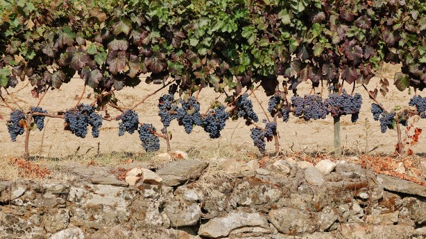 wine_grapes_ripe_for_the_harvest